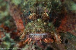 BD-161028-Pantar-3556-Scorpaenopsis-possi.-Randall---Eschmeyer.-2001-(Poss's-scorpionfish].jpg